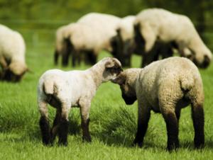¿Sirve de algo contar ovejas?